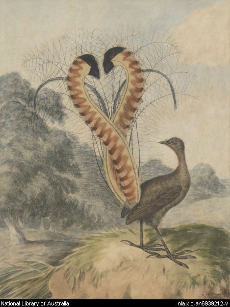 Lyrebird by Edwards, Sydenham, 1769?-1819. 1802. 1 drawing : pen, watercolour ; 41 x 32.2 cm. (s.m.). Source: http://nla.gov.au/nla.pic-an6939212